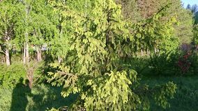 Green branches fir tree path way springtime. Camera tilting up. Evergreen tree and needles. stock video