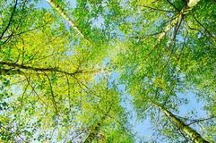 Green branches of forest trees extend to the blue sky Royalty Free Stock Image