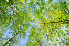 Green branches of forest trees extend to the blue sky Royalty Free Stock Images