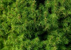 Green branches of a fur-tree or pine Royalty Free Stock Images
