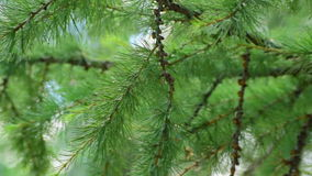 Green branches of a larch stock video