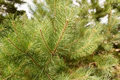Green branches of larch close-up Royalty Free Stock Image