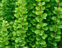 Green branches and leaves of barberry Royalty Free Stock Photo
