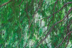 Green branches with lushy leaves. Shot in Green Park London Royalty Free Stock Photo