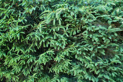 Green branches and needles of fir tree. Royalty Free Stock Photo