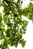 Green branches of the oak tree against the white sky background Stock Images