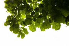 Green branches of the oak tree with the raindrops Stock Photos