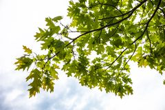 Green branches of the oak tree with tiny young acorns Stock Photography