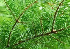 Green Branches Of Pine Tree, Needles Royalty Free Stock Images