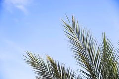 Green branches of a palm tree and a blue sky. Green palm branches against the blue sky. Summer holiday concept Stock Photo