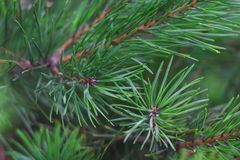 Green branches of pine on a background of greenery stock image