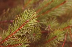 Green branches of a pine close-up royalty free stock photo