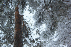 Green branches of the pine covered snow and hoarfrost. In fairy winter forest Stock Photos