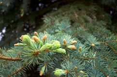 Green branches of pine. Green needles. Royalty Free Stock Photo