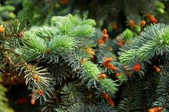 Green branches of pine. Green needles. Stock Images