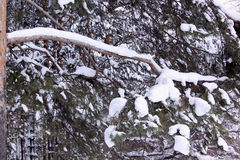 Green branches of the pine snow covered in winter forest. Green branches of the pine snow covered in fairy winter forest Royalty Free Stock Photos
