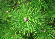 Green branches of pine tree Stock Image
