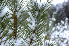Green branches of pine-tree covered snow. Beautiful winter forest Stock Image