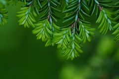 Green branches of a pine tree macro photo Stock Photography