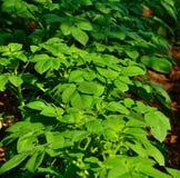 Green branches of potato. Green plants of potato crop Royalty Free Stock Photos