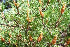 Green branches of relict pine sunny day. stock images