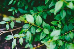 Green branches shot at shallow depth of field Royalty Free Stock Photos