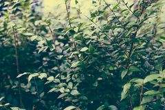 Green branches shot at shallow depth of field Royalty Free Stock Photography