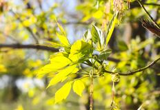 Green branches of the spring tree against the blue sky background. Acer negundo plant. Green branches of the spring tree against blue sky background. Acer stock image