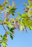 Green branches of the spring tree against the blue sky background. Acer negundo plant. Green branches of the spring tree against blue sky background. Acer royalty free stock image