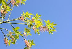 Green branches of the spring tree against the blue sky background. Acer negundo plant. Green branches of the spring tree against blue sky background. Acer royalty free stock photos