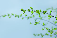 Green Branches Royalty Free Stock Photos