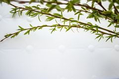 Green branches of spring willow on a white background. Copy space from below for your text. Willow twigs royalty free stock images