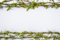 Green branches of spring willow on a white background. Copy space in the middle for your text. Willow twigs stock photo