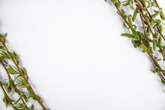 Green branches of spring willow on a white background. Copy space in the middle for your text. Willow twigs stock photos