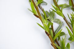 Green branches of spring willow on a white background. Copy space to the left for your text. Willow twigs stock photo