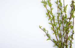 Green branches of spring willow on a white background. Copy space to the left for your text. Willow twigs royalty free stock photos