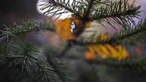 Green branches with spruce needles, with yellow leaves, close-up. slowmotion. HD. 1920x1080. Green branches with spruce needles, with yellow leaves, close-up stock video footage