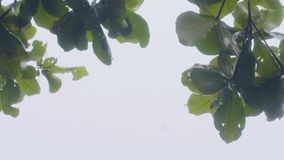 Green branches of summer tree while rain on gray sky background. Wet tree branches and foliage while rain on overcast