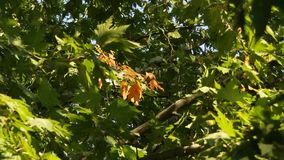 Green Branches Of Sycamore stock video footage