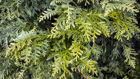 Arborvitae branches. Green branches of thuja in the spring Stock Images