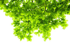 Green branches Royalty Free Stock Photography