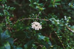 Green branches with white flowers shot at shallow depth of field Stock Photography