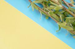 Green branches of willow on a blue - yellow background. Copy space to the left for your text. Willow twigs royalty free stock photos