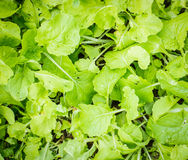 Green brassica vegetable Royalty Free Stock Photos