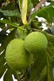 Green bread fruit on the tree Stock Photo