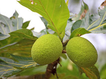 Green breadfruit Royalty Free Stock Images