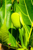 Green Breadfruit. Stock Image