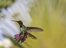 Green-breasted Mango. (Anthracothorax prevostii) male hummingbird in Roatan Honduras Royalty Free Stock Photos
