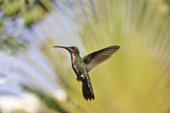 Green-breasted Mango (Anthracothorax prevostii) Royalty Free Stock Images