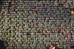 Green briсk wall. Old brick wall completely covered with green algae Stock Photography